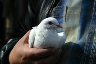 Pigeon being held in man's hand
