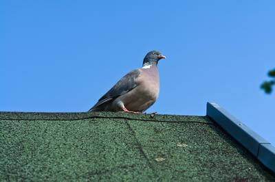 Pigeon on top of shingle roof