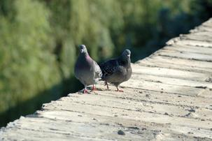 Two pigeons on wood dock